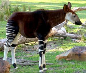 Young Okapi Animal Kingdom Lodge Savanna