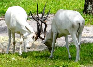 Addax at Animal Kingdom Lodge