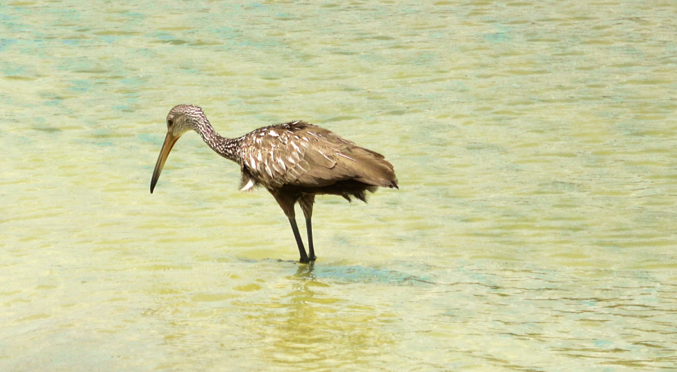 Limpkin Bird Disney's Polynesian Village Resort Orlando Florida Resales DVC